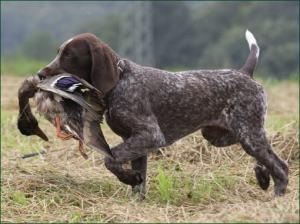 Hund bei der Jagd